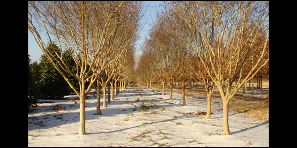 Tips For Planting Trees From A Wholesale Tree Farm