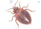 What Every Homeowner and Traveler Should Know About Bed Bugs